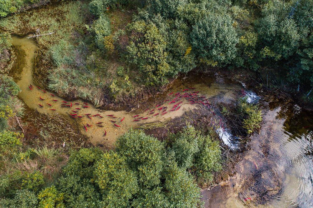 bristol bay alaska sockeye salmon run spawning streams lifecycle