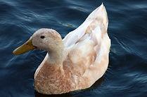 Are Ducks Good Pets?