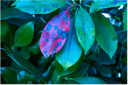 dennis ariza  red leaf