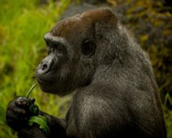 Jodi_Webber_Color_Photo_Gorilla