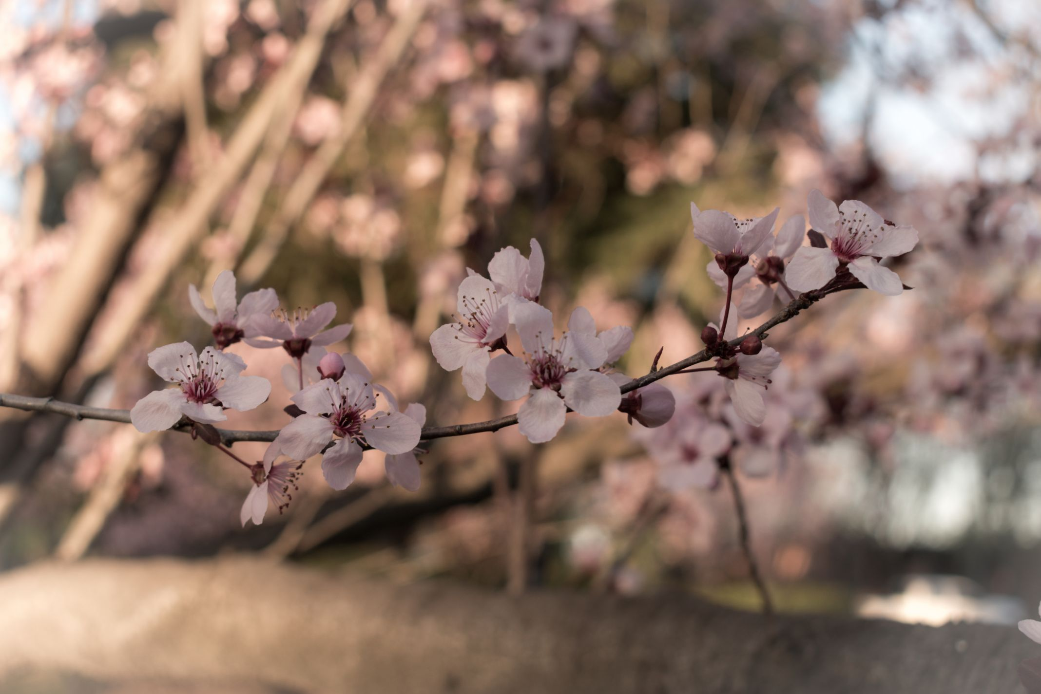 Cherry Blossom Blooms