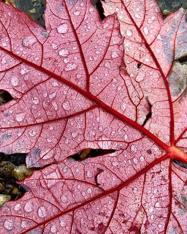 Red Leaf Raindrops