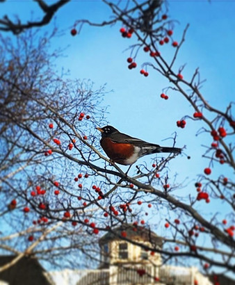 Robins and Berries