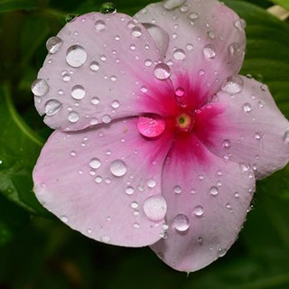 Raindrops on Petals