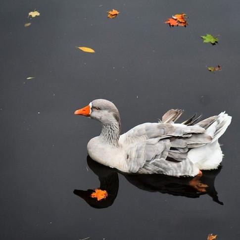 Duck, Duck, GOOSE! 🦆