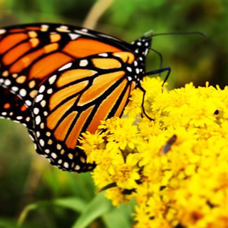 Monarch Perched on Yellow Flower