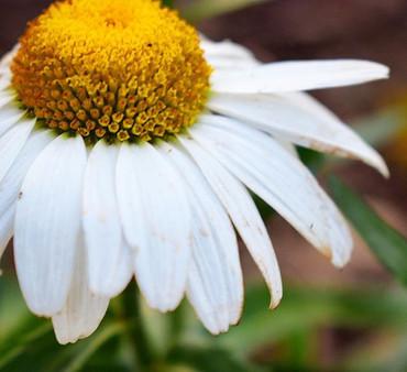 Daisy....daisy...
