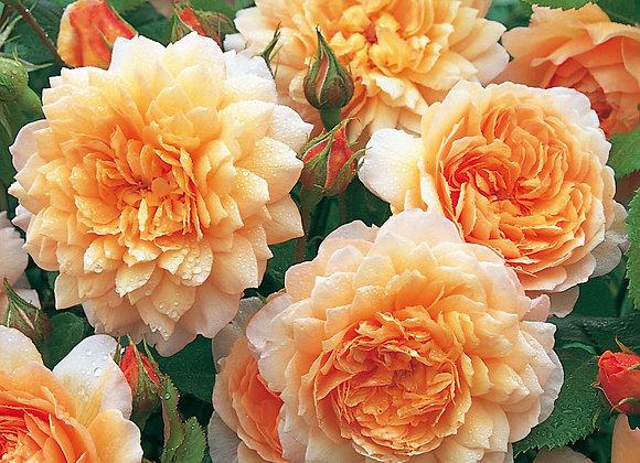 Citrus Rose