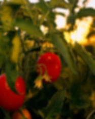 Lombard Pizza of sunrise tomato on the Vine jpeg.jpeg