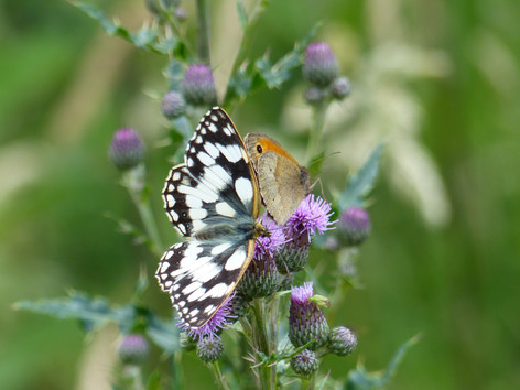 Marbled White and Meadow Brown