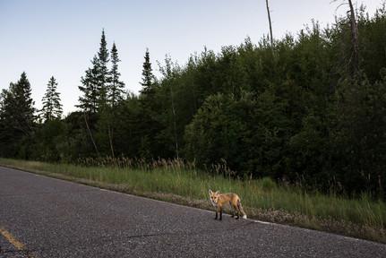 Lone Fox Along Gunflint Trail
