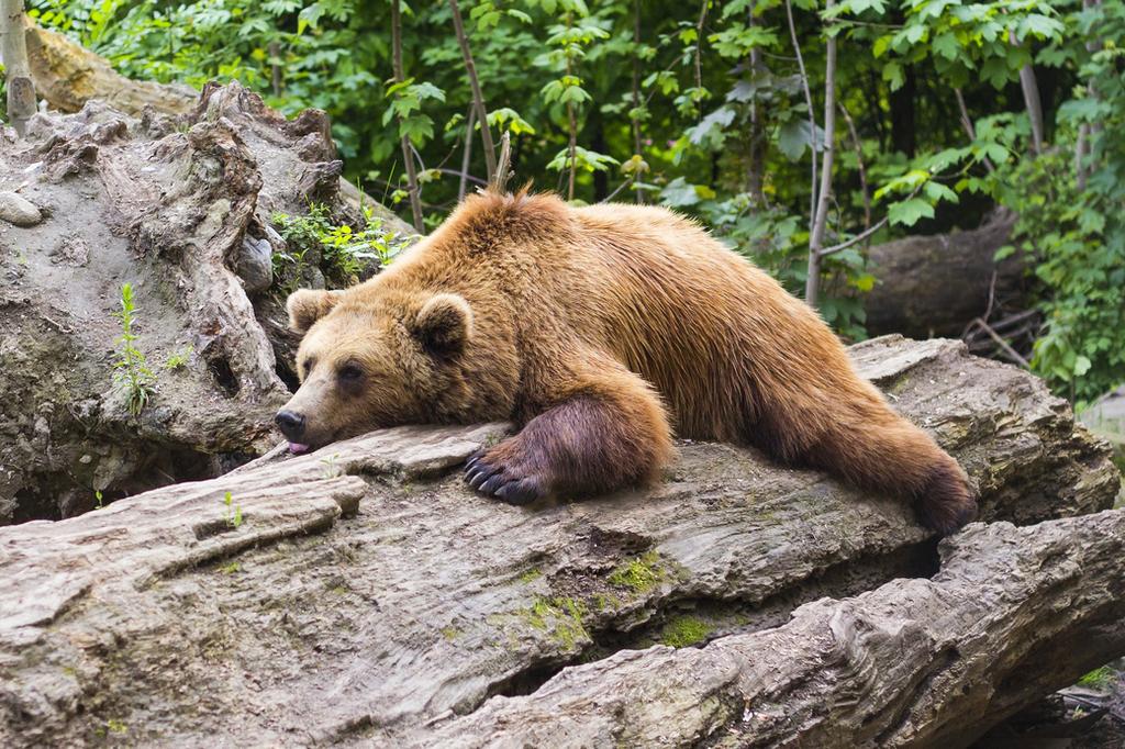 Bear grote lul