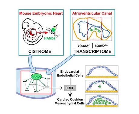 HAND2 Target Gene Regulatory Networks Control Atrioventricular Canal and Cardiac Valve Dev