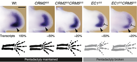 Direct comparison of the Grem1 expression domain in forelimb buds of the most relevant CRM