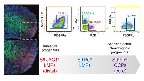 Molecular signatures identify immature mesenchymal progenitors in early mouse limb buds that respond