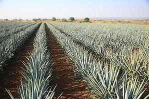 agave field.jpg