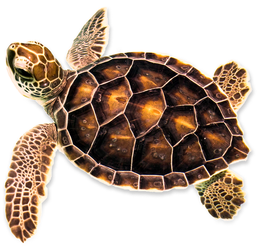 Turtle-with-shadow.png