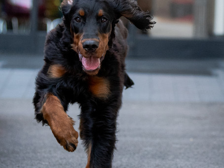 Locksheath Gordon Setter News