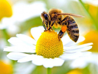 Whats the buzz? Why both corporations and nonprofits are concerned about bees