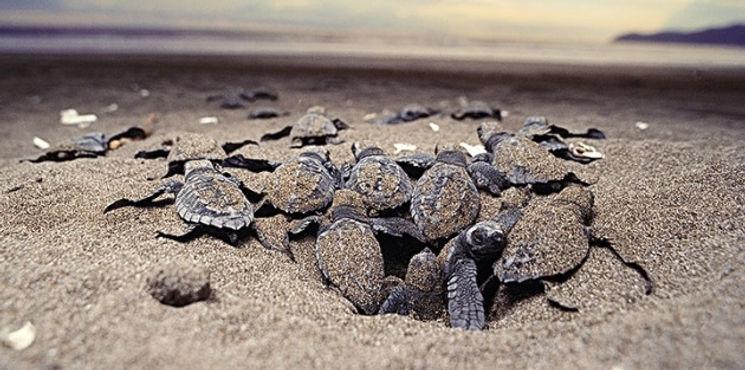 baby-sea-turtles-migrate-to-ocean.jpg
