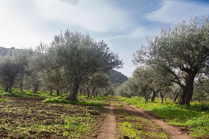 Oliveto Noto-1.jpg