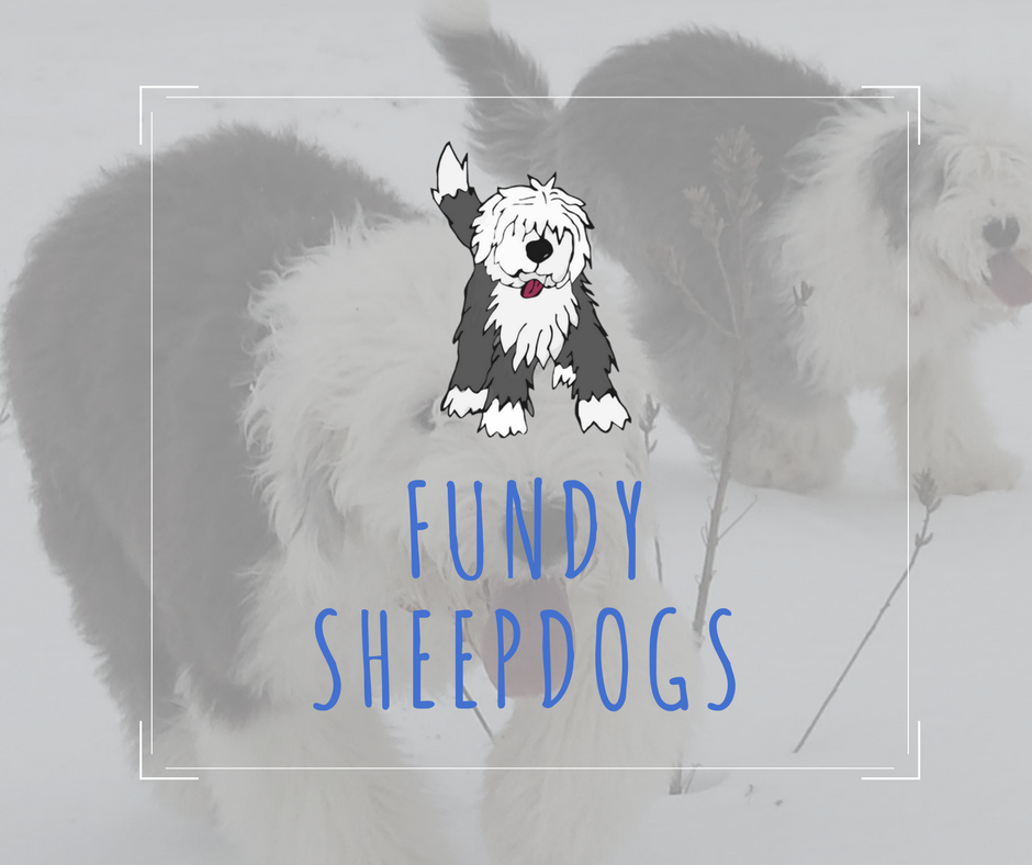 Sheepadoodle & Old English Sheepdog Breeder | Fundy Sheep Dogs