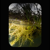 Llano River: Yellow Roots 2011 INKJET ON PAPER 40x32 inches