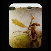 Llano River: Red Leaf 2012 INKJET ON PAPER 40x32 inches