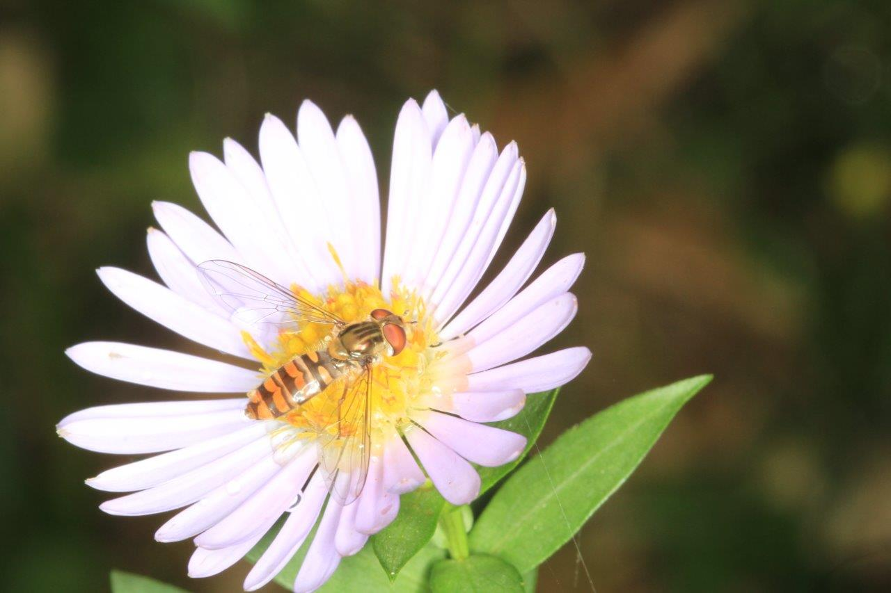 Syrphe sur aster_0044 (1)