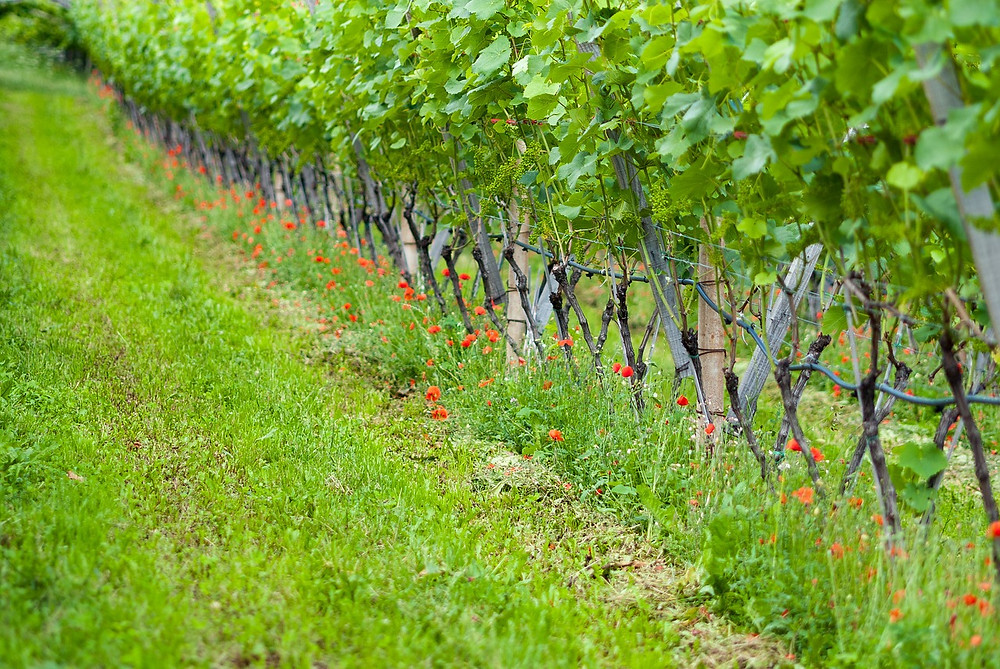 A great example of a healthy natural and biodynamic/organic vineyard.