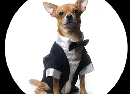 Tuxedo Chihuahua
