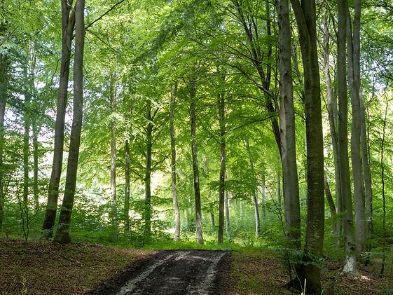 Skovsti_med_træer_-_hjemmeside.jpg