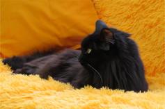 Кот черный пушистый комфорт оранжевый