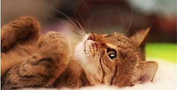 Кот рыжий КотКурорт