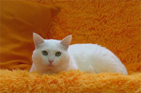 Кот белый пушистый комфорт оранжевый