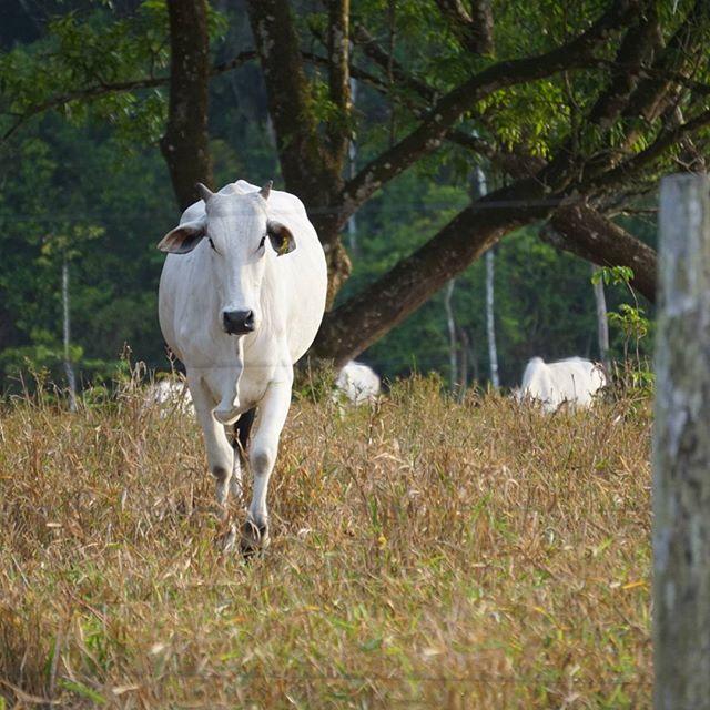 #beef #nelore_gado #cavalocrioulo #cavalo #nelore #nelorepará #neloreboi #nelore_gado #fazenda #vida