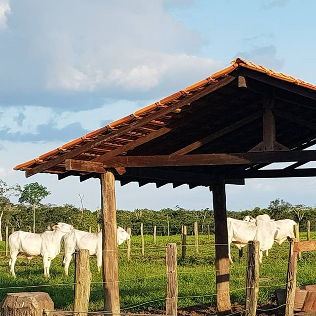 #beef #nelore_gado #cavalocrioulo #cavalo #nelore #farm #neloreboi #nelore_gado #fazenda #vidanocamp