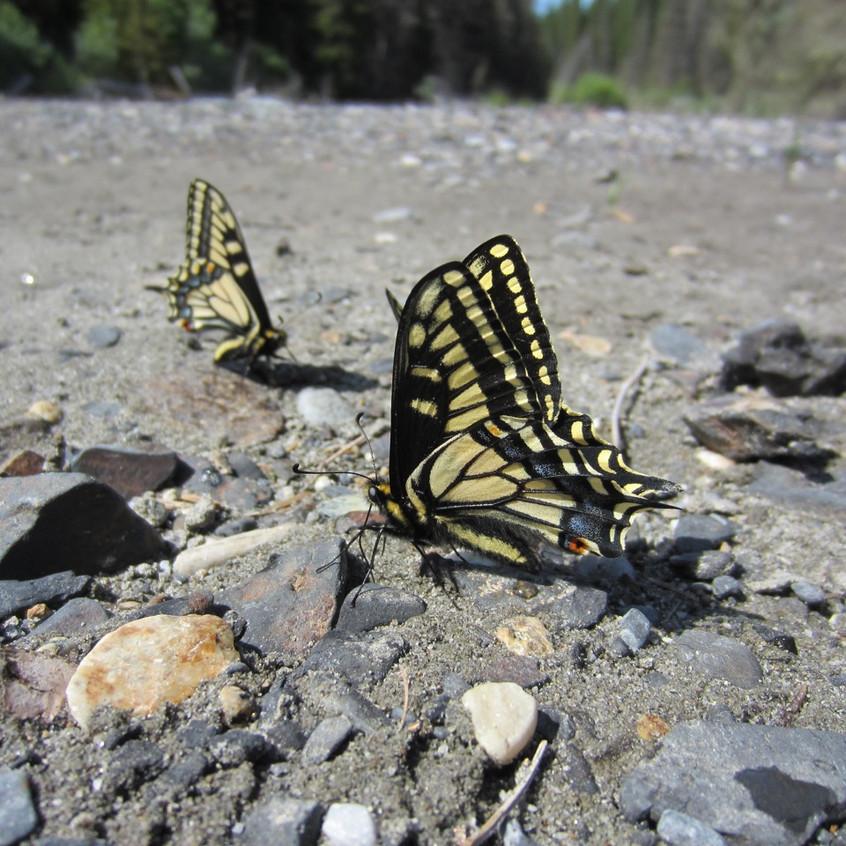 Papilio puddling