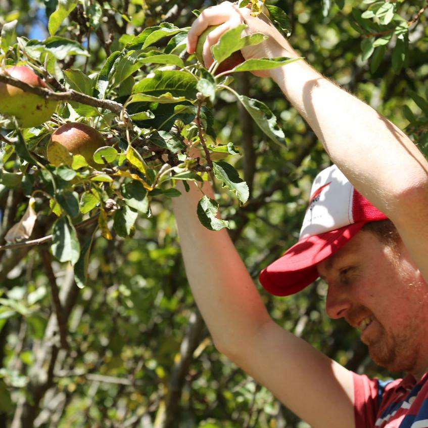 Matt Hall and Apples -  Images from Matt Hall's New Zealand Home Garden.
