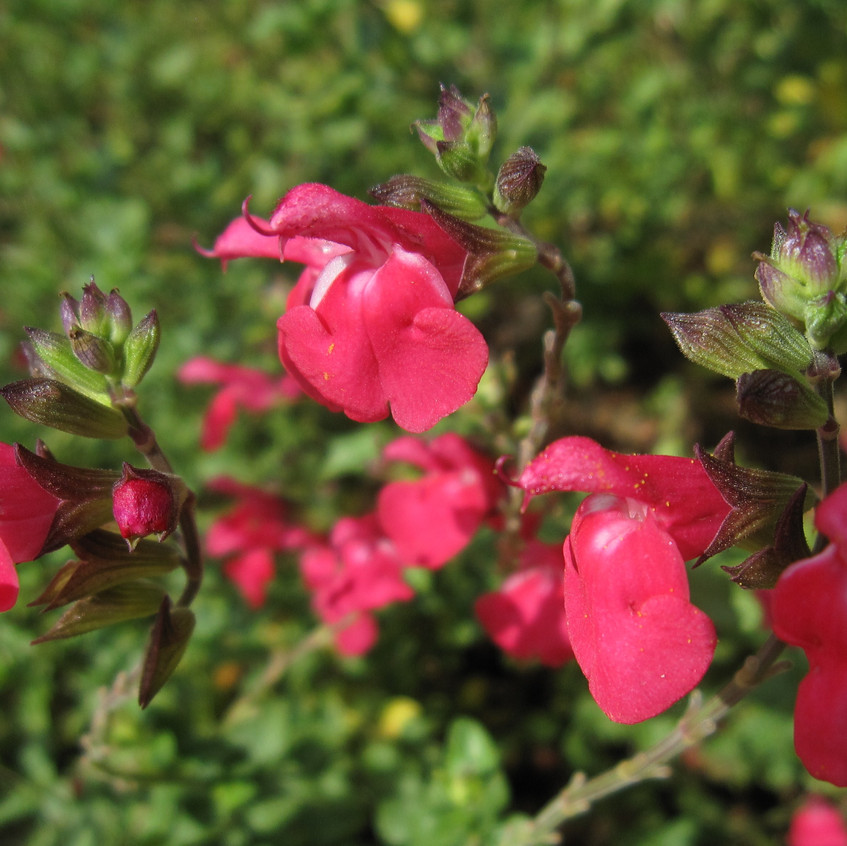 Salvia love Planet Pomegranate