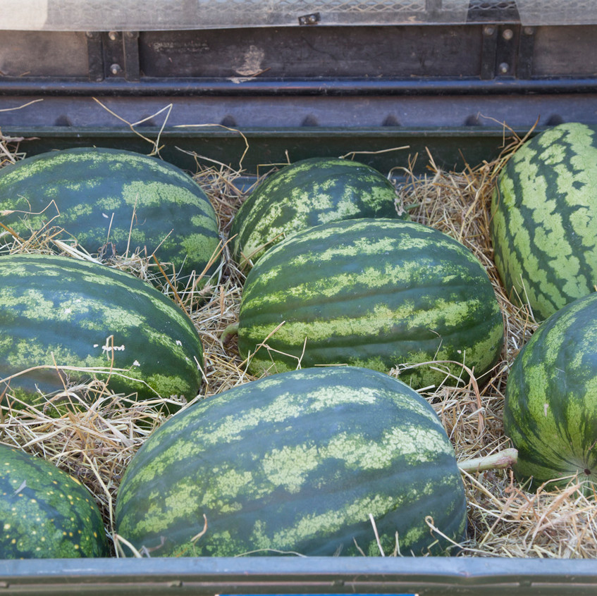 "Melon Harvest - from ""The Melon"" - written by Amy Goldman, photos by Victor Schrager, all rights reserved."