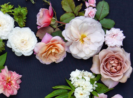 FOR THE LOVE OF ROSES with FALLON SHEA, ROSE DEVOTEE
