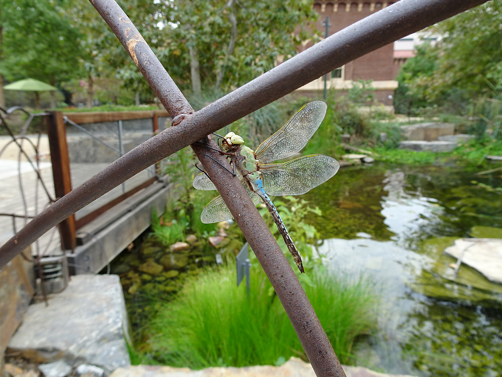 The pond at the Nature Gardens with a hungry friend - dragonfly. Photo courtesy of the Natural History Museum of LA County, all rights reserved.