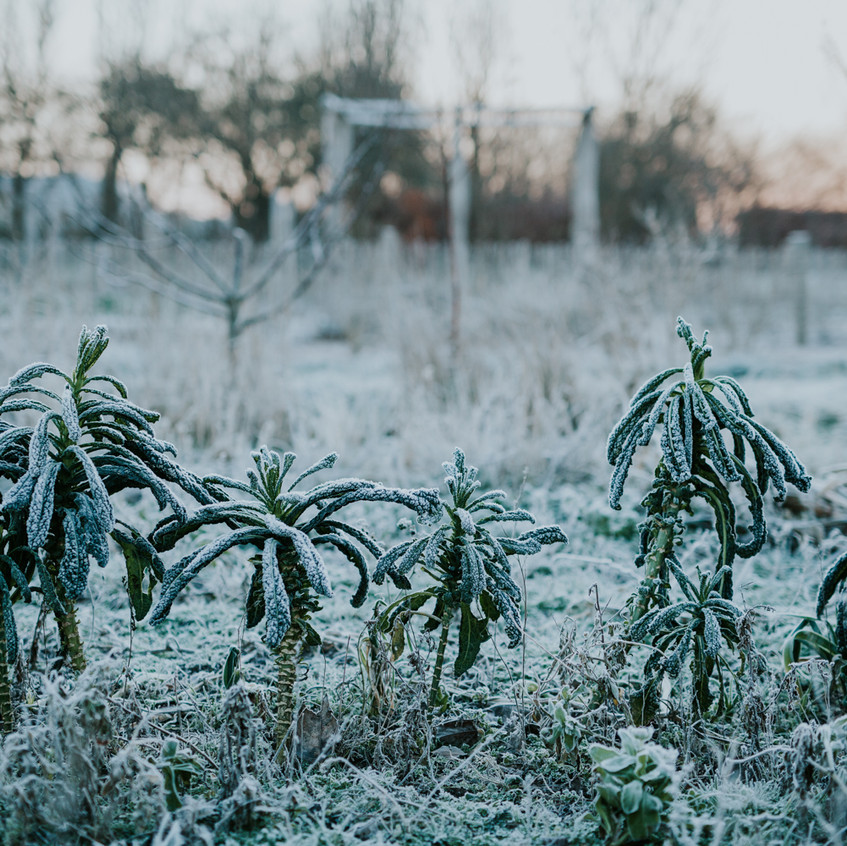 Winter Frost on Kale -Scenes from Sigridsminde - Images all by Camilla Jorvad. All Rights reserved.