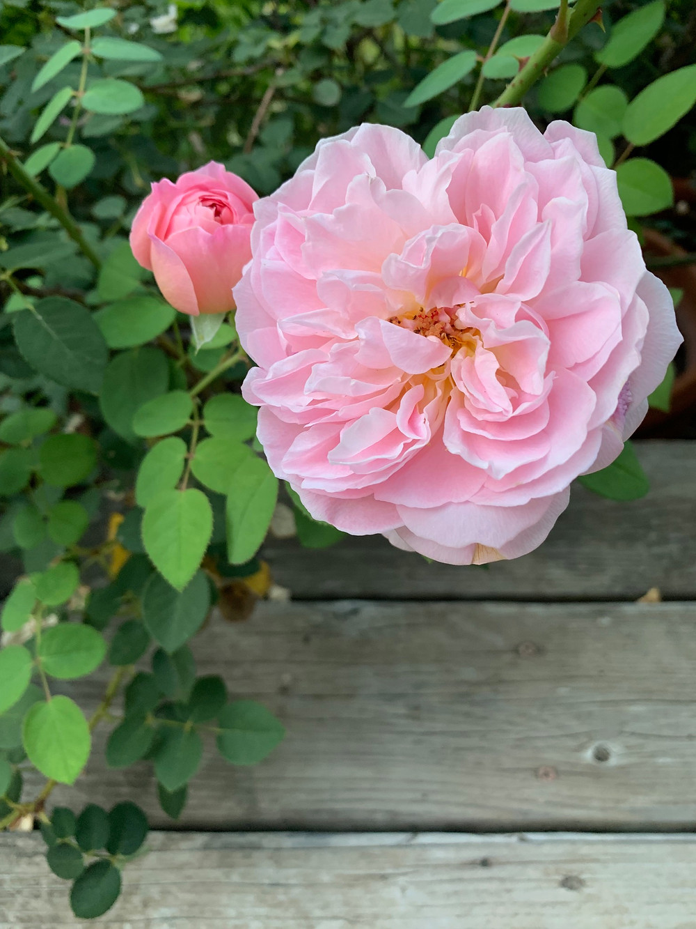 Rosa 'April Love' in August.