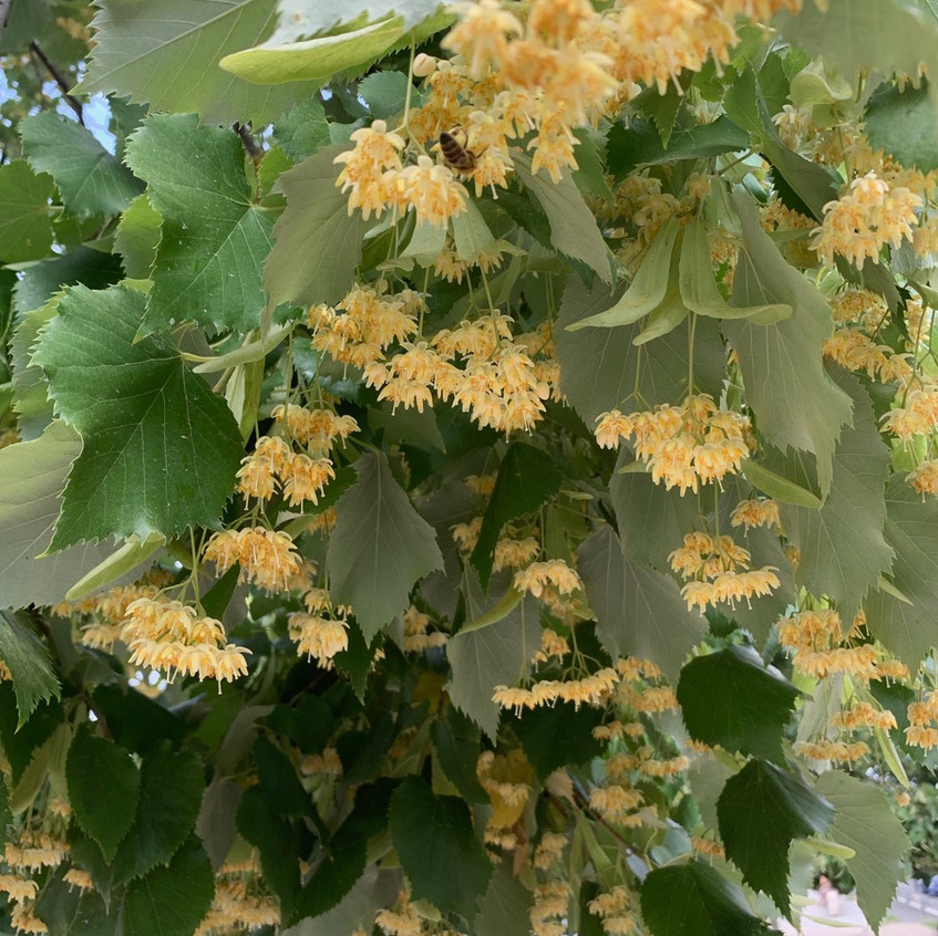 Linden In Bloom