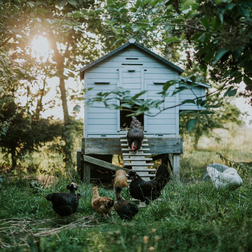 Hen House - Scenes from Sigridsminde - Images all by Camilla Jorvad. All Rights reserved.