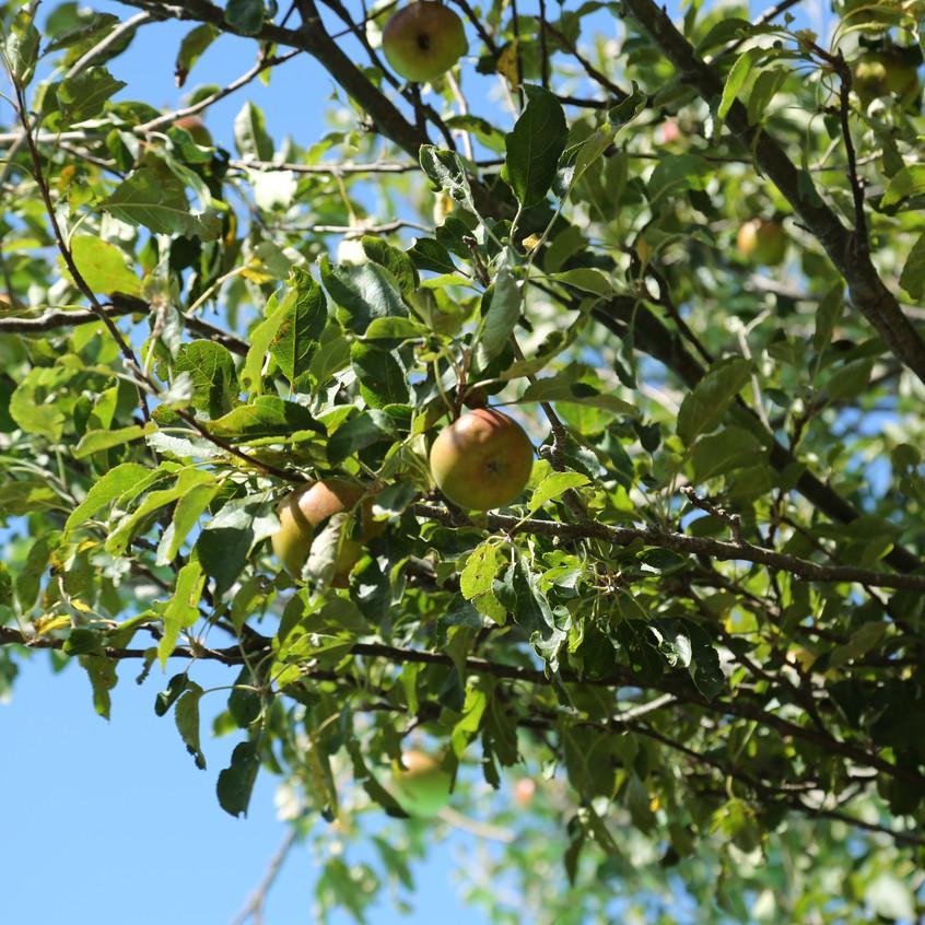 Apples -  Images from Matt Hall's New Zealand Home Garden.