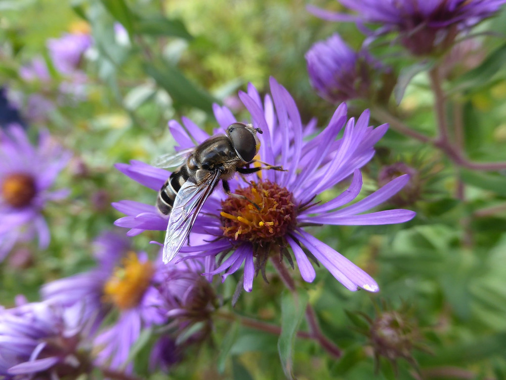 Syrphid fly on Eastern aster. Our gardens can be the habitat needed to bridge gaps for the beautiful and necessary insects, birds and other wildlife of our world. Photo by Sarah Foltz Jordancourtesy of The Xerces Society, all rights reserved.