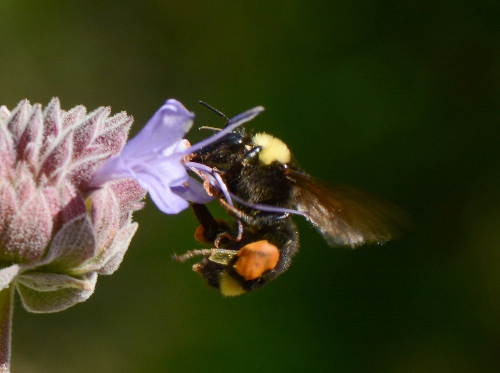 Bombus californicus on Salvia Clevelandii at Canyon Creek. Photo by John Whittlesey, all rights reserved.